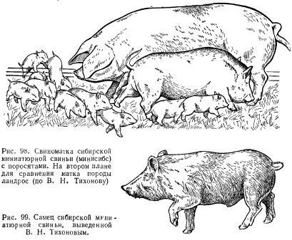 Для получения лабораторных пород свиней скрещивали диких и мелких домашних свиней, проводили селекционный...