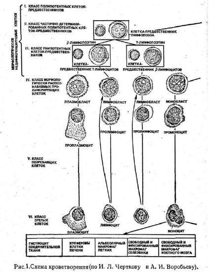 схема кроветворения принципы основные