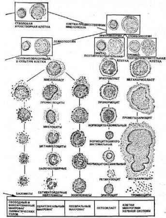 Процесс кроветворения свойственен только позвоночным животным.  Основные кроветворные органы у млекопитающих животных...
