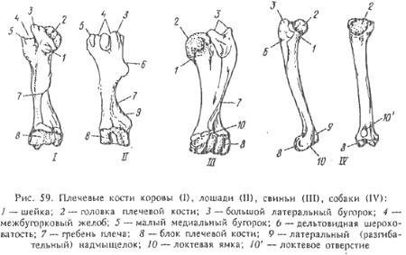 Строение коленного сустава свиньи отзывы лечение артроз плечевого сустава