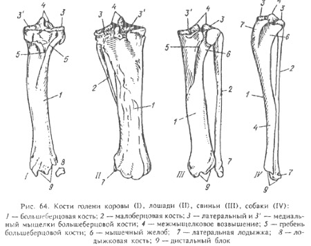 кости предплечья и запястный сустав у животных