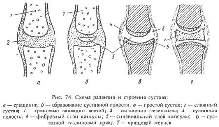 Виды соединения костей суставов биомеханика тотальное эндопротезирование локтевого сустава видео