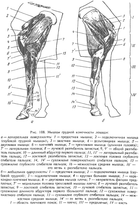 Кости и суставы грудной конечности у лошади чем опасен ложный сустав