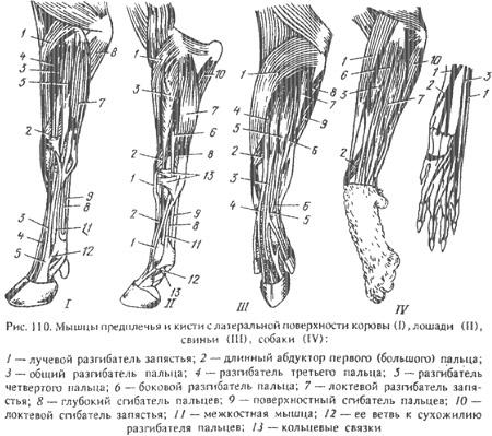 Анатомия сустава животного akn 140 бандаж на коленный сустав усиленный
