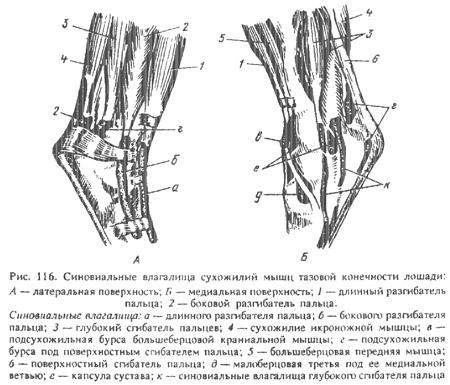 мышцы суставов пальцев грудной конечности