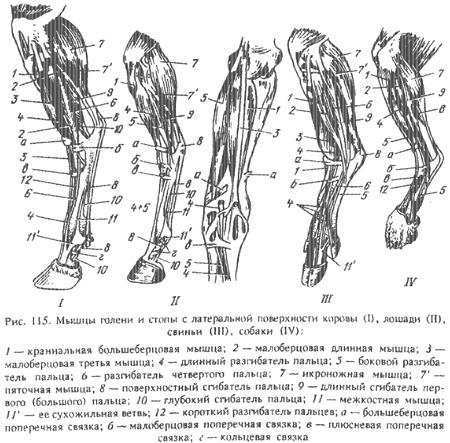 Заплюсневый сустав животных клиника хирургии суставов в караганде