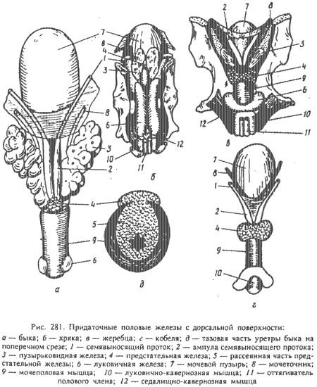 Простата у мужчин фото