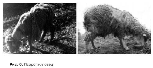 кожные заболевание у овец на фото