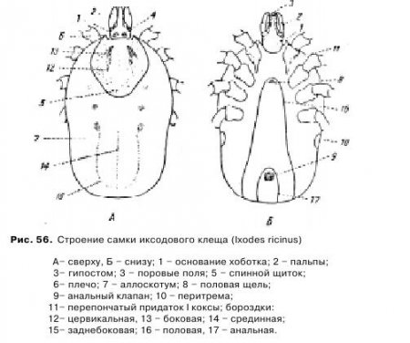 Морфология и биология иксодовых клещей - Все о ветеринарии